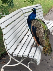 the back door of the university campus opens into a quiet, little-touristed park, complete with peacocks.